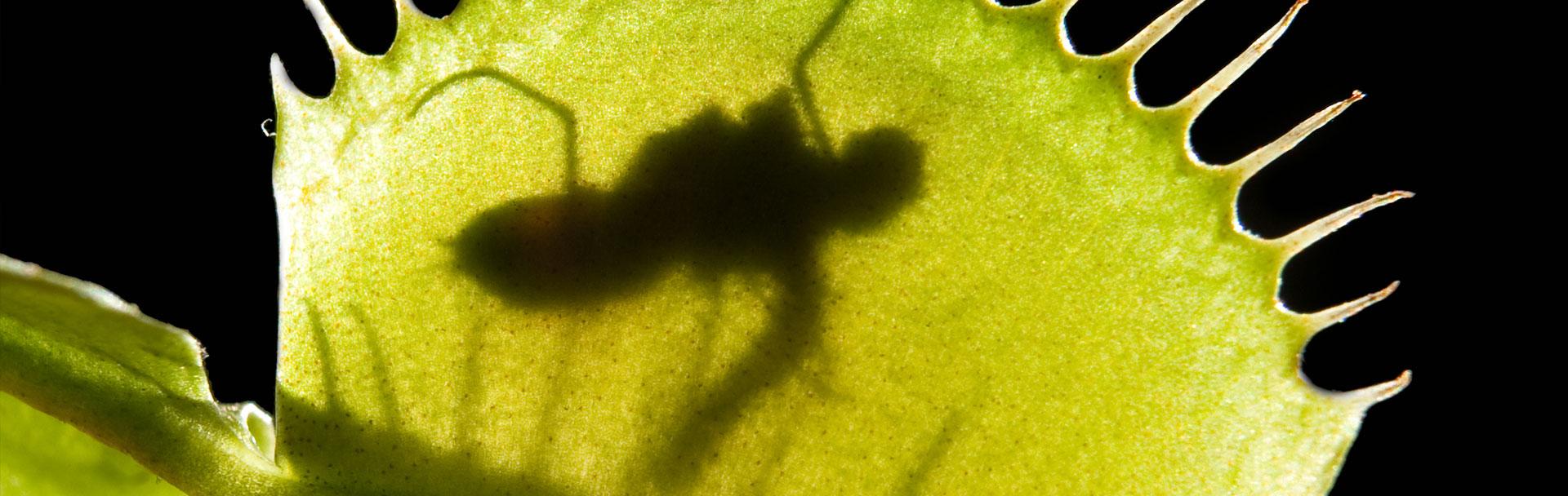 flytrap.jpg